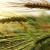 Bolesti pšenice: Fuzarioza klasa ima tri uzročnika