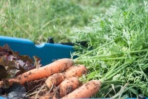 Na šta treba obratiti pažnju kod setve šargarepe