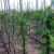 Pogon za proizvodnju sadnica voća otvoren u Kuli