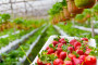 Hladni val usporio sezonu i povisio cijenu jagoda