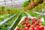 Hladni val usporio sezonu i digao cijenu jagoda