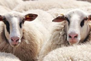 Bruceloza: opasnost za ljude vreba više u mliječnim proizvodima, nego u mesu