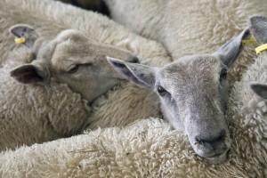 Ukradenu stoku kolju u polju - meso završi na ilegalnom tržištu