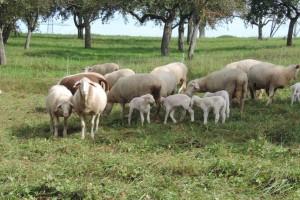 Stočari donirali 23 ovce i devet janjadi za porodicu Humić
