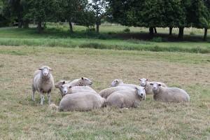 Simptomi i liječenje osteomalacije kod ovaca