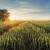 Nepravodobno suzbijanje korova može smanjiti prinos žitarica i do 50 posto