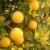 Sibirski limun: Jedno stablo daje do 40 kg zdravog ploda i mami poglede prolaznika