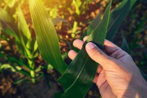 Dimitrije Marković otkrio da kukuruz kojeg se dodiruje - šalje signale drugim biljkama koje tako postaju otpornije