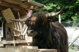 """Nezahtjevne """"žive kosilice"""", škotska visinska goveda na imanju učiteljice Silvije Mekota"""