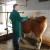 HPA objavila izvještaj o ocjeni vanjštine krava simentalske pasmine