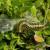 Šimširov moljac - jedna gusenica može da pojede do 45 listova