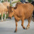 Spustila se gladna stoka s pašnjaka na ulice Šipova