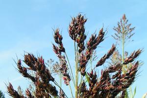 Sirak šećerac daje najveći prinos biomase za preradu u šećer