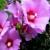 Hibiskus - ljepota cvijeta koji traje samo jedan dan