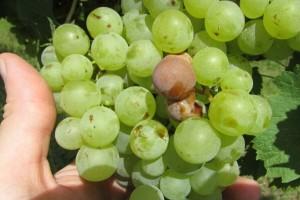Toplo i promenljivo vreme pogoduje sivoj truleži grožđa