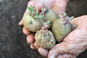 Nestašica sjemenskog krompira u RS, u FBiH ga ima dovoljno