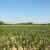 Nastić: Ratari uveliko razmišljaju o primjeni amino kiselina i u kukuruzu