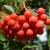 Jarebika - nepravedno zanemarena i zapostavljena šumska voćkarica