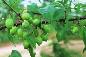 Bolesti voća napadaju: Preporuke voćarima za zaštitu trajnih nasada