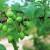 Bolesti voća napadaju: Preporuke voćarima za zaštitu trajnih zasada