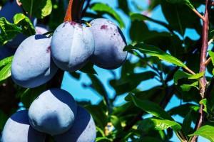 Zbog loše lanjske zaštite, ove godine slabiji rod voća