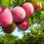 Visoke temperature pogoduju razvoju bolesti koštičavih voćaka - provedite zaštitu!