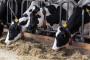 Smanjena proizvodnja mleka zbog vrućina