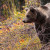Brojnost i veličina populacije smeđih medvjeda prvi put procijenjena u Hrvatskoj