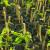 Kraj vegetacije - idealan za uzimanje zrelih reznica pojedinih voćnih kultura
