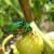 Kako zaustaviti najezdu zlatnih mara na plodove smokava?