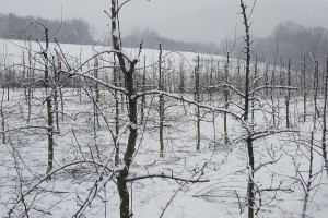 Što raditi s voćkama nakon otapanja snijega i mraznih dana?