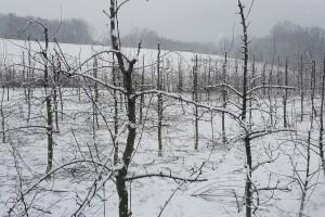 Šta raditi sa voćkama nakon otapanja snijega i mraznih dana?