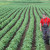 Soja zbog podsticaja izgurala kukuruz?