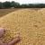 Proteinska bomba, RWA soja LENKA, najbolja je u pokusu Ministarstva poljoprivrede