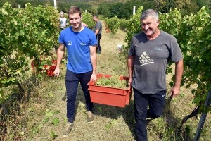 Započela berba grožđa u vinogradima Gojka Solde, kapljica će iznova biti vrhunska