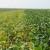 Zasadi soje i suncokreta u dobrom stanju, očekuju se stabilni prinosi