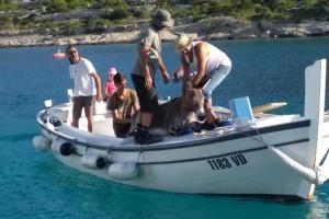 Spasili magaricu s pustog otoka i privremeno ju udomili - ipak će biti vraćena vlasniku?