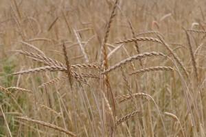 Pir: Žitarica malih prinosa, ali bogatih nutritivnih vrijednosti