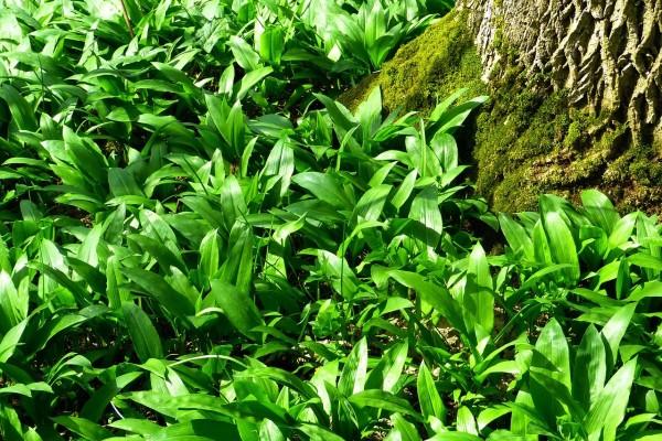 Srijemuš možete uzgojiti i u vrtu, a kod branja budite jako oprezni!