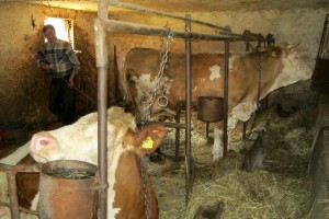 Higijena štale za mlečne krave