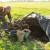 Organska đubriva: Stajnjak je dovoljno unositi svake četvrte godine