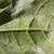 Napadnuto 90% hrastovih šuma! Eksperti zabrinuti zbog hrastove mrežaste stenice