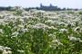 Hajdučka trava u biodinamičkoj poljoprivredi
