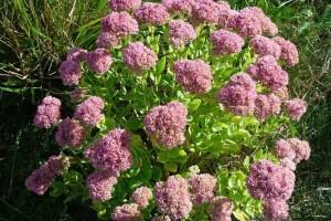 Debela koka ili ranjenik: Izrazito lekovita biljka koja se lako uzgaja