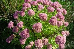 Debela koka ili ranjenik: Izrazito ljekovita biljka koja se lako uzgaja