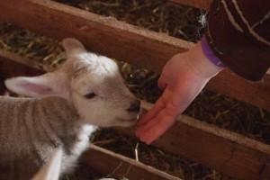 Stočar koji štrajka u banjalučkom parku poručio: Poklonit ću i zadnje jagnje nadležnima