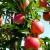 Uzgoj stubastih jabuka na okućnici