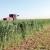 Sudanska trava za krmu