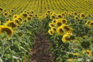 Izvozom suncokretovog ulja Ukrajina zaradila preko 4 milijarde dolara