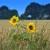 Velika razlika u prinosima pšenice, ali i u visini biljaka suncokreta - zbog čega?